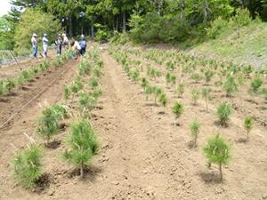 松の苗木移植完了
