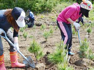 松の苗木を掘り起こす
