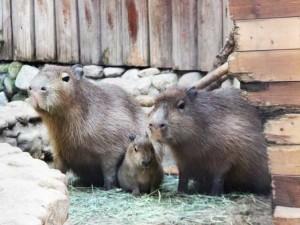03kapibara